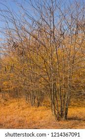 Autumn landscape. Trees threw off foliage. Plantations of Carob trees. Trees threw off foliage. Honey locust (Gleditsia triacanthos), thorny locust.