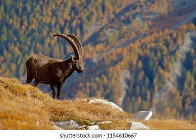 Autumn landscape wildlife scene with beautiful animal. Mountain mammal in the Alp habitat. Alpine Ibex, Capra ibex, with autumn orange larch tree in hill background, National Park Gran Paradiso, Italy