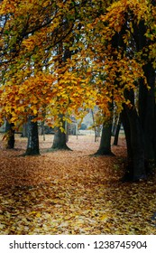 autumn landscape - yellow beech trees