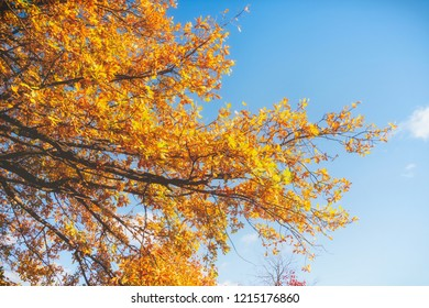 autumn landscape, yellow trees on a background of blue sky, background, space for text
