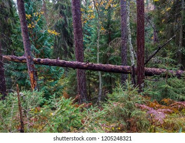 Autumn larch forest trees background. WIlderness forest trees in Karelia backwoods. Karelia autumn forest trees wilderness scene. Forest trees wilderness view