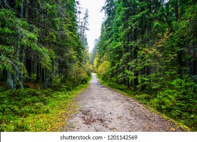 Autumn larch grove forest road landscape. Karelia forest grove of larch trees trail in autumn season. Autumn forest path view. Forest path in autumn scene