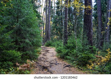 Autumn larch grove path landscape. Autumn forest grove of larch trees path way. Larch grive of trees in autumn Karelia forest scene