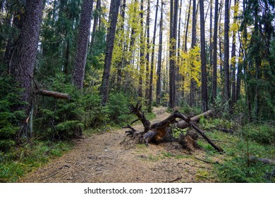 Autumn larch tree grove trail landscape. Autumn forest path view. Deep autumn forest path way. Lindulovskaya grove of trees trail