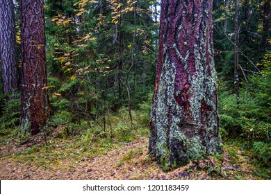 Autumn larch tree trunk view. Autumn grove of larch trees scene. Lindulovskaya larch grove tree background