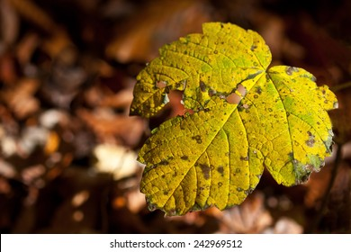 Autumn leaf detail from forest