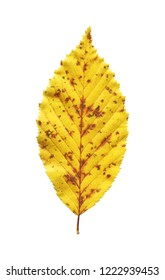 Autumn leaf elm isolated on white background. One yellow leaf elm isolated