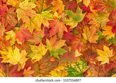 Autumn leaf fall. Maple leaves. Nature background