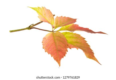 autumn leaf of grapes isolated on white background