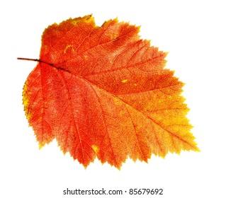 autumn leaf Hawthorn