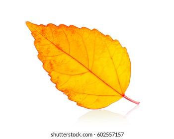 autumn leaf isolated on white background
