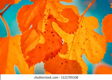 Autumn leaf nature background. Red leaves over blue sky