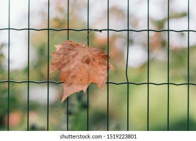 Autumn leaf stuck on metal fence
