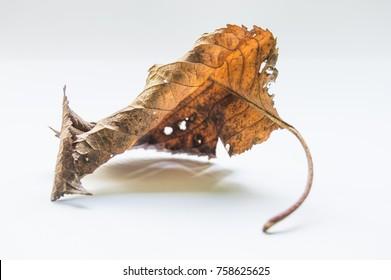 Autumn Leaf in Studio