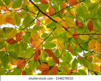 autumn leafs of Fagus sylvatica (the European beech)