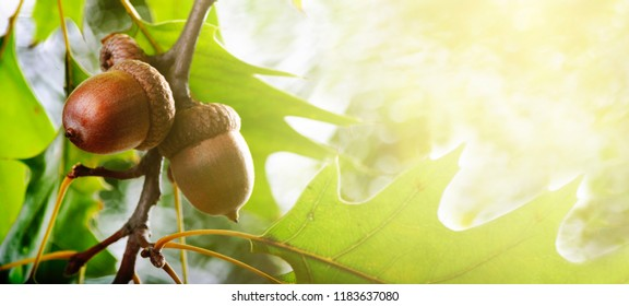 Autumn leaves and acorn on tree banner design background. Autumn oak foliage with sunlight. Seasonal concept for thanksgiving holiday card.