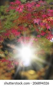 Autumn Leaves Of Arashiyama