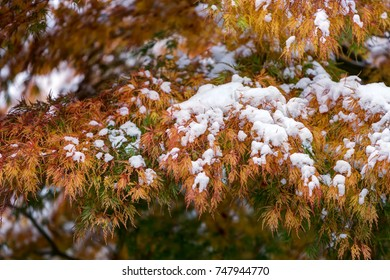 Autumn leaves bearing early snow