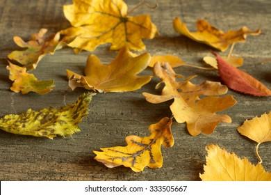 Autumn leaves of birch, maple, oak, cherry, aspen on a wooden background.