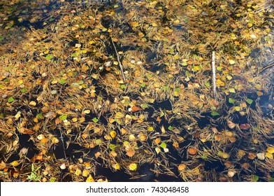 Autumn leaves in black water.