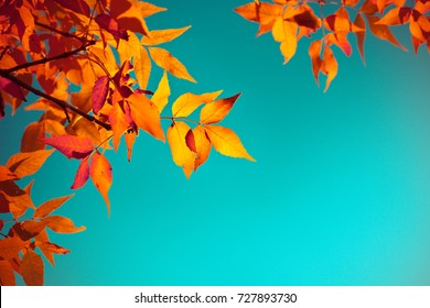 Autumn leaves with the blue sky background, Yellow, red and green bright colorful leaves and branches, fall themes