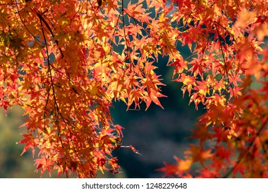 Autumn leaves of Chiba city, Chiba prefecture, Japan / Izumi Nature Park in Chiba City, Chiba prefecture, Japan