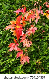 Autumn leaves of the Clematis in a Thuja hedge