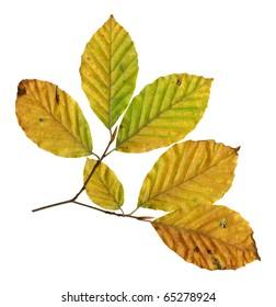 Autumn leaves of a copper beech, underside