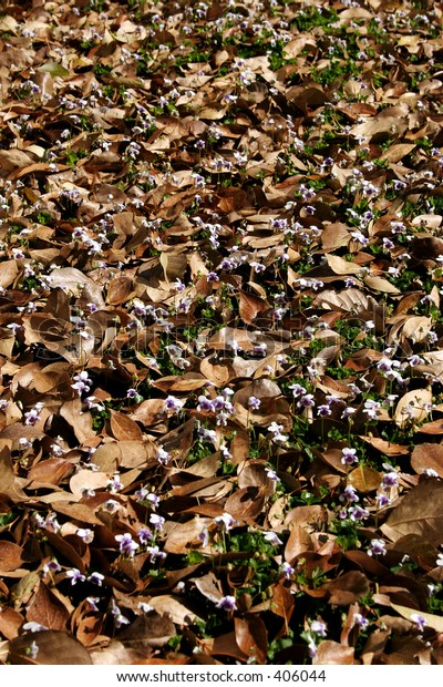 Autumn leaves covering purple pansies