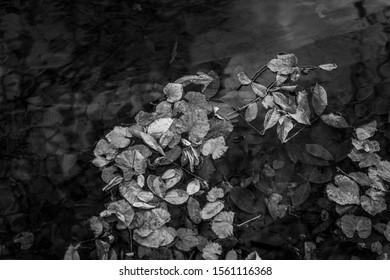 Autumn leaves in creek, Chico, California.