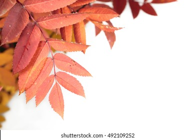 Autumn leaves cutout on white background