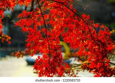 Autumn leaves and duck boat of Inokashira Park (Inokashira Park)