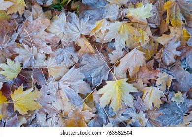 Autumn leaves fallen maple in the Italian gardens