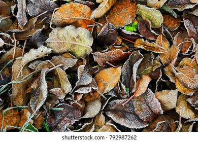 autumn leaves in the frost