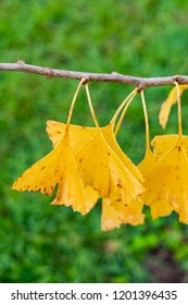 Autumn leaves. Ginkgo biloba, also known as the maidenhair tree, is the only living species in the division Ginkgophyta, all other