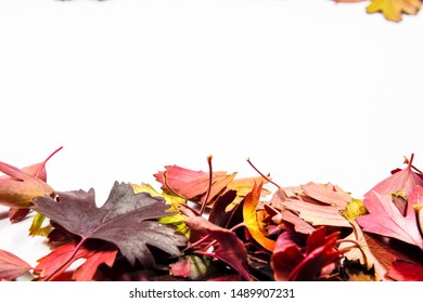 Autumn leaves of golden currant on a white background. copyspace of autumn leaves.