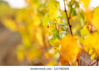 Autumn leaves of grapes. Grapevine in the fall. Vineyard in autumn. Soft focus.