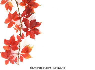 Autumn leaves of grapes of red color on a light background.