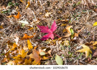 Autumn leaves in the grass, maple leaves.