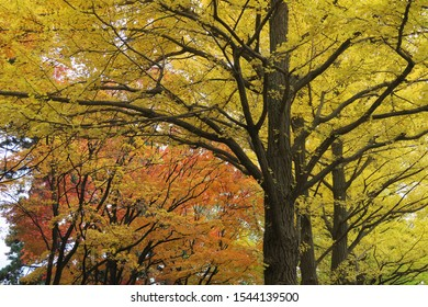 Autumn leaves in Hokkaido, Japan