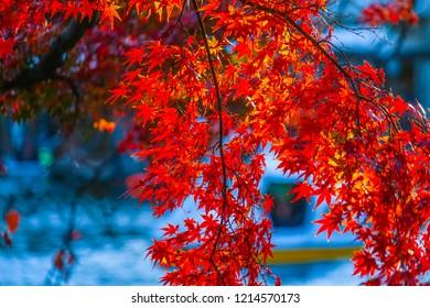 Autumn leaves of Inokashira Park (Inokashira Park)