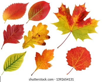 autumn leaves isolated on a white background. Elm and oak, hawthorn and black-fruited mountain ash, maple and aspen.