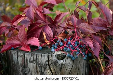 Autumn leaves of ivy on wooden background. Parthenocissus quinquefolia. Virginia Creeper Trail. Virginia Creepers. Bright red leaves in the fall. Ampelopsis hederacea. Ampelopsis quinquefolia.