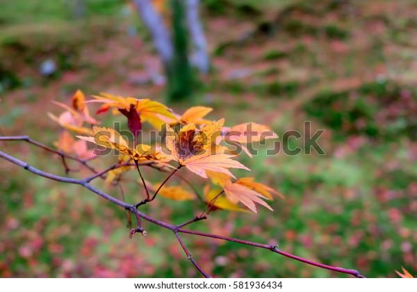 Autumn leaves, japanese red maple tree, Kyoto, Japan