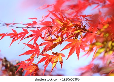 Autumn leaves, a Japanese autumn tradition