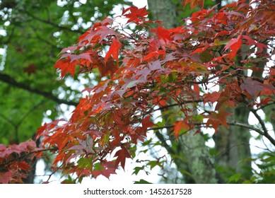 Autumn leaves of Karuizawa , Japan