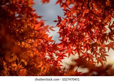 Autumn leaves , Leaf Maple Autumn Season Leaves Background. Colorful autumn forest.