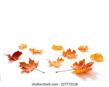 Autumn leaves maple isolated. Autumn golden leaves isolated