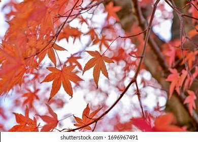 Autumn leaves of Maple quietly colored in the shade of trees