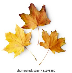 Autumn leaves of maple tree isolated on white background